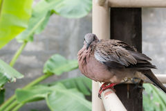 Spotted turtle dove Stock Photography
