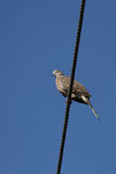 Spotted Turtle Dove (Streptopelia chinensis) Royalty Free Stock Photography