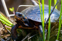 Spotted Turtle Stock Image