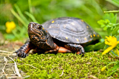 Spotted Turtle. A Spotted Turtle walking on moss by flowers Stock Images