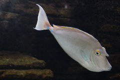 Spotted Unicornfish Royalty Free Stock Photos