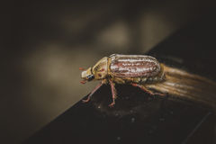 Spotted unusual southern chafer Stock Image