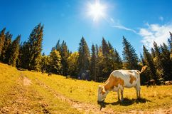 Spotted white cow eats grass on alpine meadow with high fir tree Stock Photos