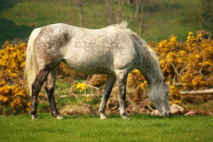 Spotted white horse Stock Photo