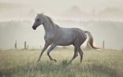 Spotted white horse running through the meadow Royalty Free Stock Images