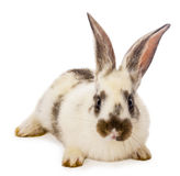 Spotted white rabbit Stock Photography