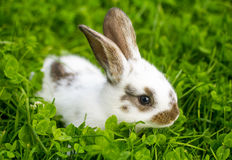 Spotted white rabbit sitting in grass Stock Images