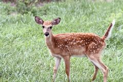 Spotted White Tailed Deer Fawn Alone in Field. A spotted White-tailed deer fawn without his mother standing in a grassy meadow alone royalty free stock photo