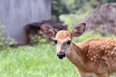 A Spotted White tailed Deer Fawn. A spotted White-tailed deer fawn without his mother standing in a grassy meadow alone near an old barn stock photos