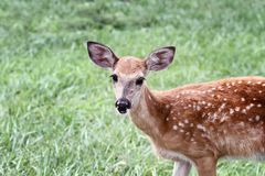 Spotted White tailed Deer Fawn. A spotted White-tailed deer fawn without his mother standing in a grassy meadow alone stock images