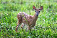 Spotted White-tailed Fawn in Green Grass Looking Toward the Camera. Horizontal shot of a white-tailed fawn in a green field looking toward the camera Stock Photo
