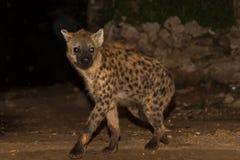 Spotted wild hyena Stock Photos