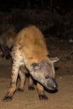Spotted wild hyena Stock Photo