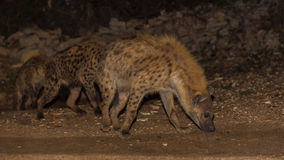 Spotted wild hyenas Royalty Free Stock Photo