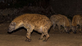 Spotted wild hyenas Stock Image
