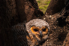 Spotted Wood Owl Royalty Free Stock Photography