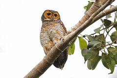 Spotted Wood Owl Strix seloputo Cute Birds of Thailand. Spotted Wood Owl Strix seloputo Cute Bird of Thailand royalty free stock photo