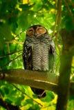 Spotted Wood-Owl - Strix seloputo, owl of the earless owl genus Strix. Three subspecies are seloputo, wiepkini and baweana royalty free stock image