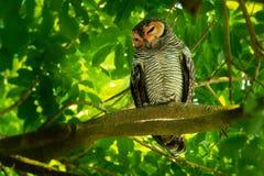 Spotted Wood-Owl - Strix seloputo, owl of the earless owl genus Strix. Three subspecies are seloputo, wiepkini and baweana stock image