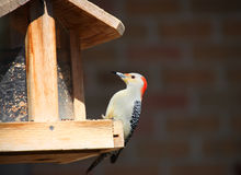 Spotted Wood pecker Stock Photography