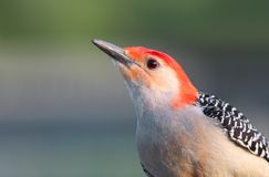 Spotted wood pecker close up shot royalty free stock photos