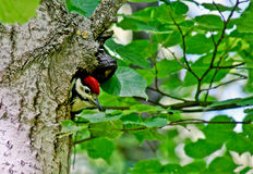 Spotted woodpecker . Royalty Free Stock Photos