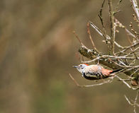 Spotted woodpecker perched on a branch Stock Images