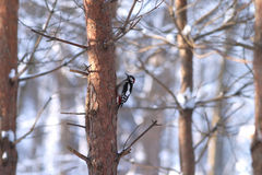 Spotted woodpecker sits on a pine in winter forest Stock Photo