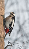 spotted woodpecker sits on a tree in the Park Stock Image
