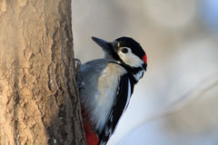Spotted woodpecker sits on a tree trunk in the forest Royalty Free Stock Photos