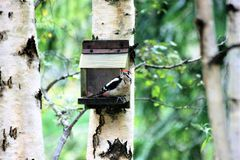 Spotted woodpecker sitting on a feeder on a birch tree stock photo
