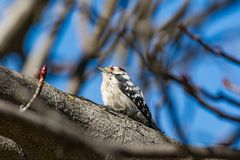 Spotted Woodpecker sitting on the tree branch in garden. The Lesser Spotted Woodpecker Dendrocopos minor in the wood Royalty Free Stock Images