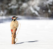 Spotted Woodpecker in the winter Stock Photography