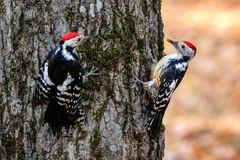 Spotted woodpeckers on a tree. Photo of a  two males Spotted woodpecker on a tree in Atazhukin park of Nalchik North caucasus Stock Photo
