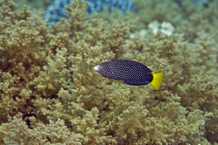 Spotted wrasse juv. (anampses meleagrides). Taken in Middle Garden Royalty Free Stock Image