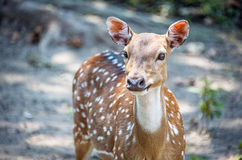 Spotted a young deer with a white chest and big eyes looks into the camera lens. The horizontal frame. stock photos