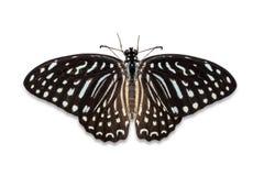 Spotted Zebra butterfly Royalty Free Stock Image