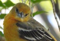 Spottende Vogel royalty-vrije stock afbeeldingen