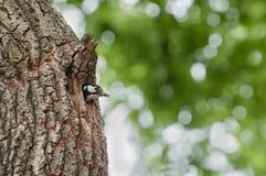 Spottet dzięcioł patrzeje z jamy w drzewie zdjęcia royalty free