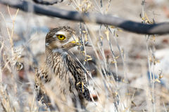 Spottet Thick Knee hiding in the bushes Royalty Free Stock Photos