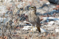 Spottet Thick Knee Royalty Free Stock Photos