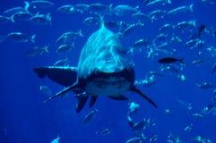 spotting för 2 haj arkivbild