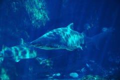 spotting för 3 haj Arkivbilder