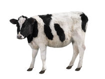 Spotty bull Stock Photos
