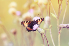Spotty butterfly sitting on a Sunny summer meadow purple thorn Stock Photo