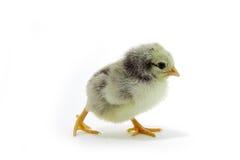 Spotty  chicken Royalty Free Stock Photos