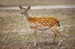 Spotty deer. Male of  spotty deer in a zoo Stock Photo