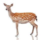 Spotty Deer Stock Image
