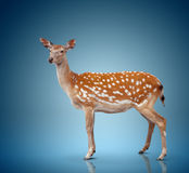 Spotty deer. On blue background Royalty Free Stock Photo