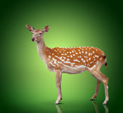 Spotty deer. On green background Royalty Free Stock Image